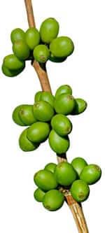graine de café vert minceur
